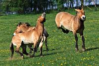 Лошади Пржевальского (Фото: Архив пражского зоопарка)
