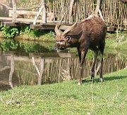Антилопа ситатунга в пражском зоопарке (Фото: KarelJ, Wikimedia Commons, License CC BY-SA 3.0)