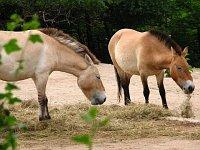 Лошади Пржевальского (Фото: Кристина Макова)