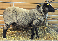 Фото: Клуб разводчиков романовских овец