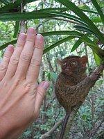 Филиппинский долгопят (Фото: Архив проекта Tarsius)