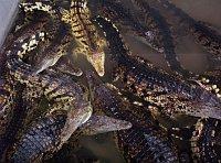 Крокодиловая ферма (Фото: Павел Кудрна, Чешское радио)