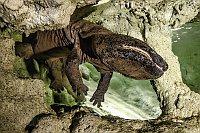 Саламандр (Фото: Петр Хамерник, Пражский зоопарк)