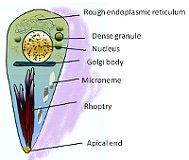 Toxoplasma gondii (Фото: Грэхэм Колм, Wikimedia CC BY-SA 3.0)