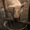 Спасите чешских свиней